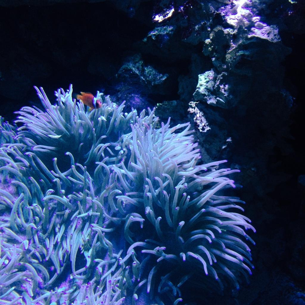 Nemo in Anemone