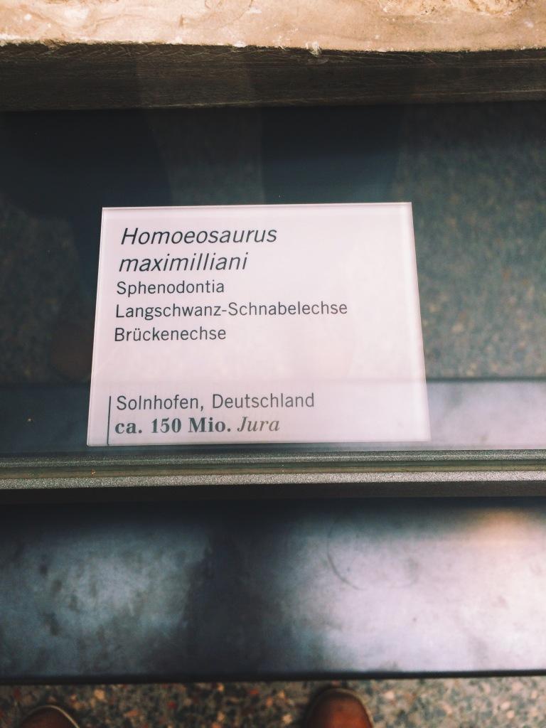 Langschwanz-Schnabelechse