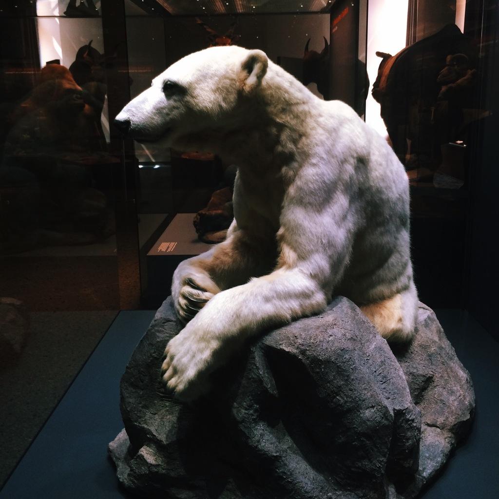 Knut im Naturkundemuseum