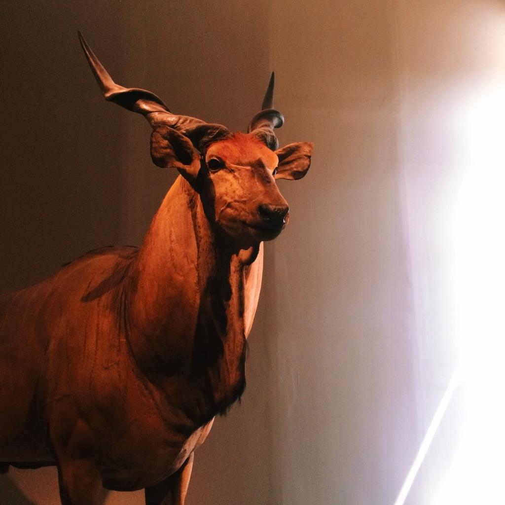 Antilope im Naturkundemuseum